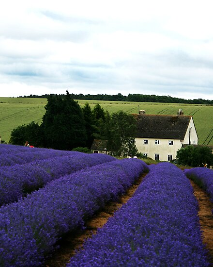 Lavender Field by lousutherland