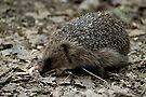 Hedgehog by Foxfire