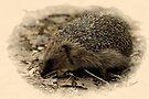 Hedgehog v2 by Foxfire
