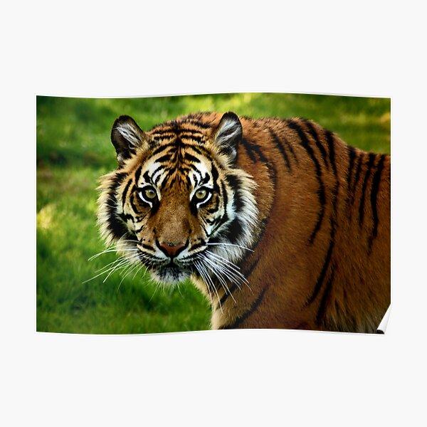 ~Sumatran Tiger! Poster