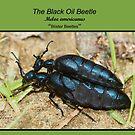 Black Oil Beetles by DigitallyStill