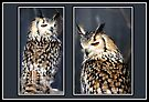 European Eagle Owl Collage by missmoneypenny
