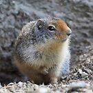 ground squirrels by gelibolu