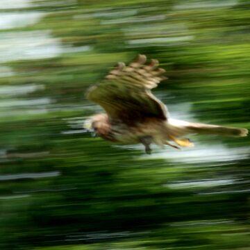 #1375 - Marsh Hawk In Flight by MyInnereyeMike