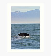 sperm whale, tail down, Kaikoura Peninsula , New Zealand   Art Print