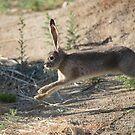 Jack the Rabbit by SB  Sullivan