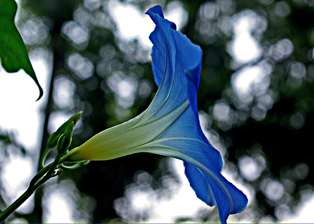 Heavenly Blue 1 by kittyrodehorst