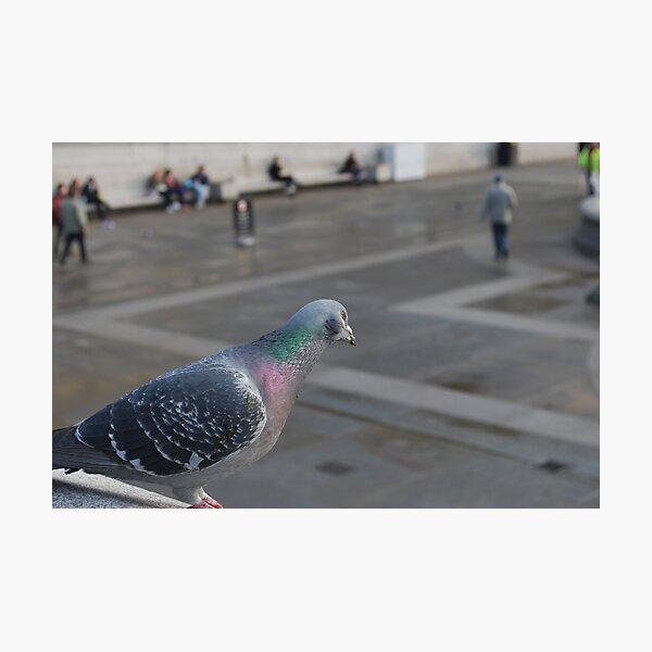 Pigeon Observer Photographic Print
