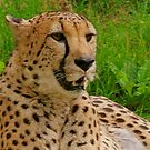 Close-up Cheetah by RockyWalley