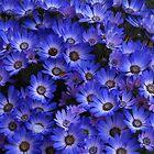 «Cinerarias azules» de VoxCeleste