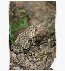 toad on a maple  Poster