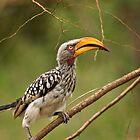 Cheeky Hornbill by Viv Thompson