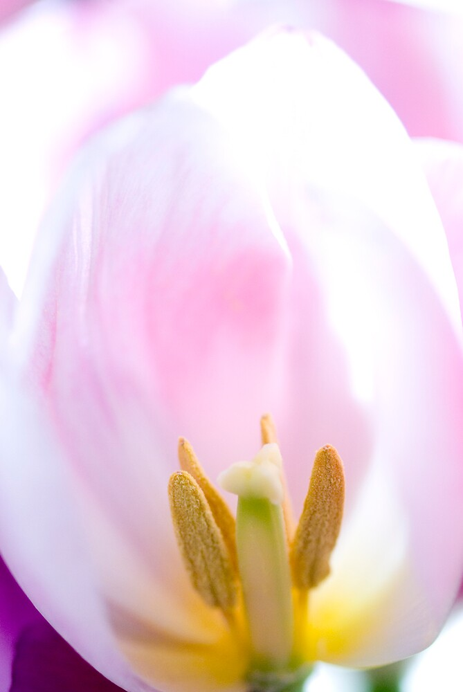 Tulip_6 by ChiaraLily