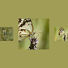 Butterfly Trio by ChiaraLily
