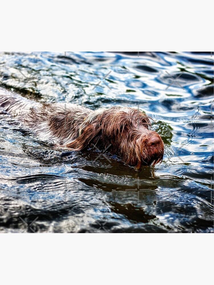 Brown Roan Italian Spinone Dog Swimming by heidiannemorris