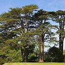 Cedar Trees at Upton House by John Dalkin