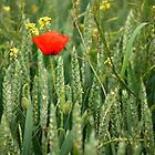 Poppy and Wheat by Gabrielle Battersby
