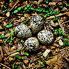 Quail Eggs - HDR by Julie Conway