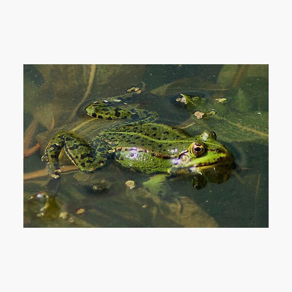 Four Eyed frog Photographic Print