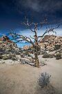 Joshua Tree, Hidden Valley, Old Tree by photosbyflood