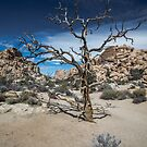 Joshua Tree, Hidden Valley, Old Tree by photosbyflood