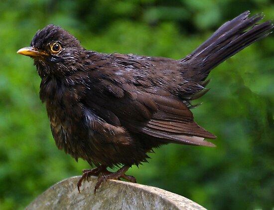 Blackbird ,, Abbotsbury Dorset by lynn carter