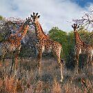 3 Giraffes in Swaziland, Africa by Bev Pascoe