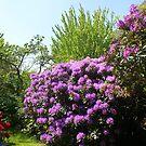 Purple Rhodos by Gilberte