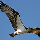 Osprey on the Hunt by Chuck Gardner