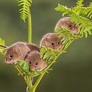 Harvest Mice on a Fern by Miles Herbert