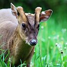 Muntjac, by widge