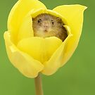 Harvest Mouse in Yellow Tulip by Miles Herbert