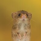 Cute Harvest Mouse Animal by Miles Herbert