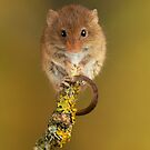 Cute Animal Harvest Mouse On A twig by Miles Herbert