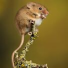 Cute Little Harvest Mouse on a Twig by Miles Herbert