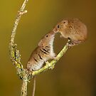 Cute Animals Harvest Mouse Kiss by Miles Herbert