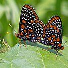 Baltimore Butterflies by DigitallyStill