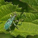 Turquiose Bug by Robert Abraham