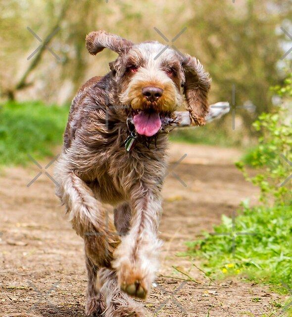 Brown Roan Italian Spinone Dog Luca by heidiannemorris