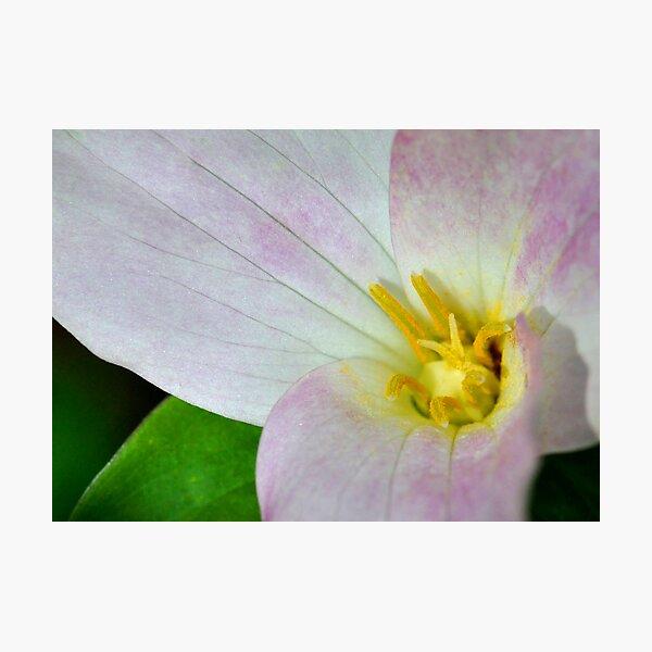 Trillium  Photographic Print