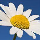 Daisy by John Burtoft