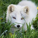 Arctic fox kit in the grass by Jim Cumming