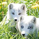 Arctic fox and kit by Jim Cumming