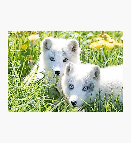 Arctic fox and kit Photographic Print