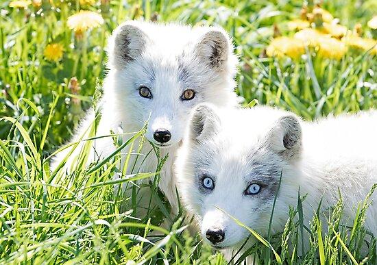 Arctic fox and kit by Jim Cumming
