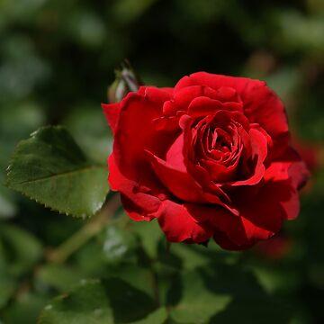 another red rose von Mows