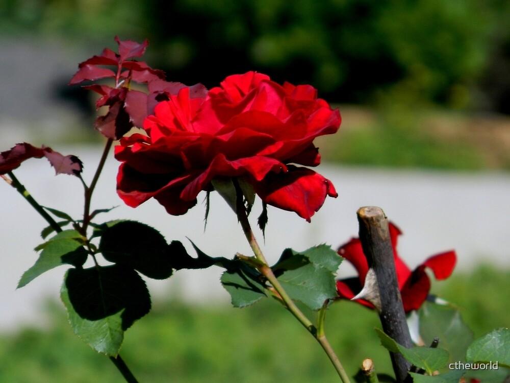 A Single Rose    ^ by ctheworld