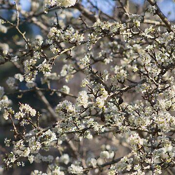 Pear Tree Blooming by Tr0y