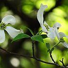 Beautiful Dogwoods by vigor