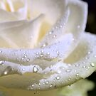 Raindrops on a beauty (Rose) by sstarlightss
